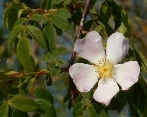 Fleur de ronce