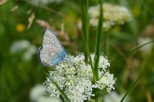 Argus bleu sur ombellifère