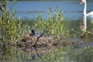 Foulque macroule dans son nid avec ses petits