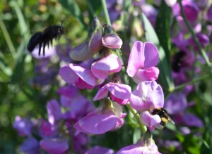 Insectes sur pois de senteur