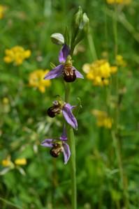 Ophrys abeille mauve