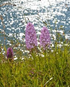 Orchis pyramidal sur fond de lac
